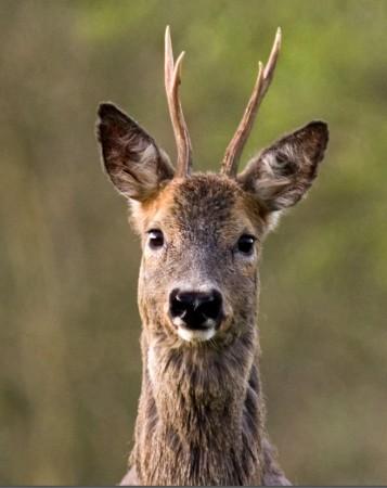 """Az élőhelyi beavatkozásokra és a megfelelő szabályozásra az őz gyors """"válaszokkal"""" reagál"""