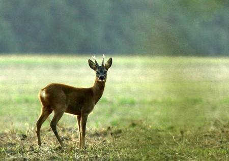 Az őz a legelterjedtebb nagyvadunk, a mintegy 300 ezres állomány 60 százaléka az alföldi apró-, illetőleg vegyesvadas területeken él