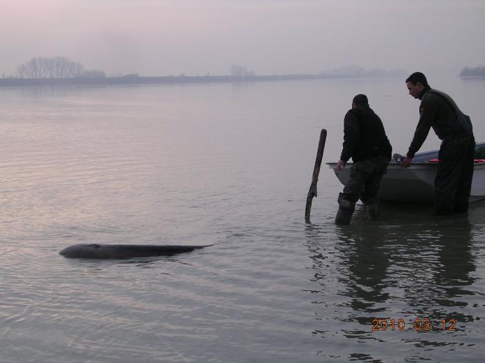 A meginduló hal a csónak közepéből egész az orráig rángatott, ahol térdre rogyva, a bot nyelét két kézzel markolva, csak tartani bírtam. A hal, mint a gyorsvonat, úgy vágtázott a meder irányába!