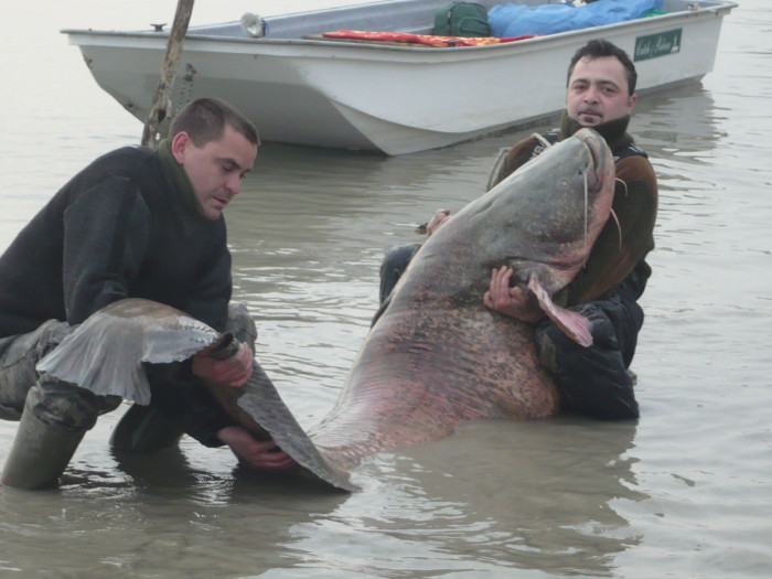 Először csak bámultuk a halat, nem bírtam felfogni, hogy létezik ekkora harcsa. A bajusza hüvelyujjnyi vastag volt, és ahogyan elterült a csónak aljában, óriási gyomra leírhatatlannak tűnt