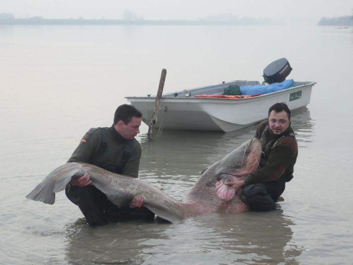 A hal jó egészségnek örvendett. Alig bírtuk a felszínre húzni, szinte újra kellett fárasztani!