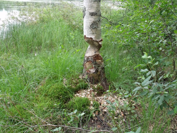 A fognyom mérete és külleme a fák törzsén látható jeleket mutat, talán a legtipikusabb, mindenki által ismert forma a hódrágás