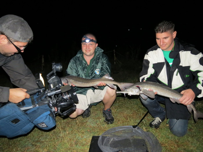 """Néhány pillanat múlva hangos csobogással, vízből kiugrálással – a csapat teljes elképedése mellett – lénai tokhalak mutatták meg magukat. A két horgász – hangos biztatásunk mellett - tette a dolgát, a kamerák pedig """"felizzottak""""!"""
