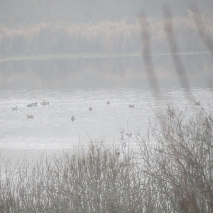 A ködös időben csak messziről figyelhettük a Baláta-tavon úszkáló madarakat