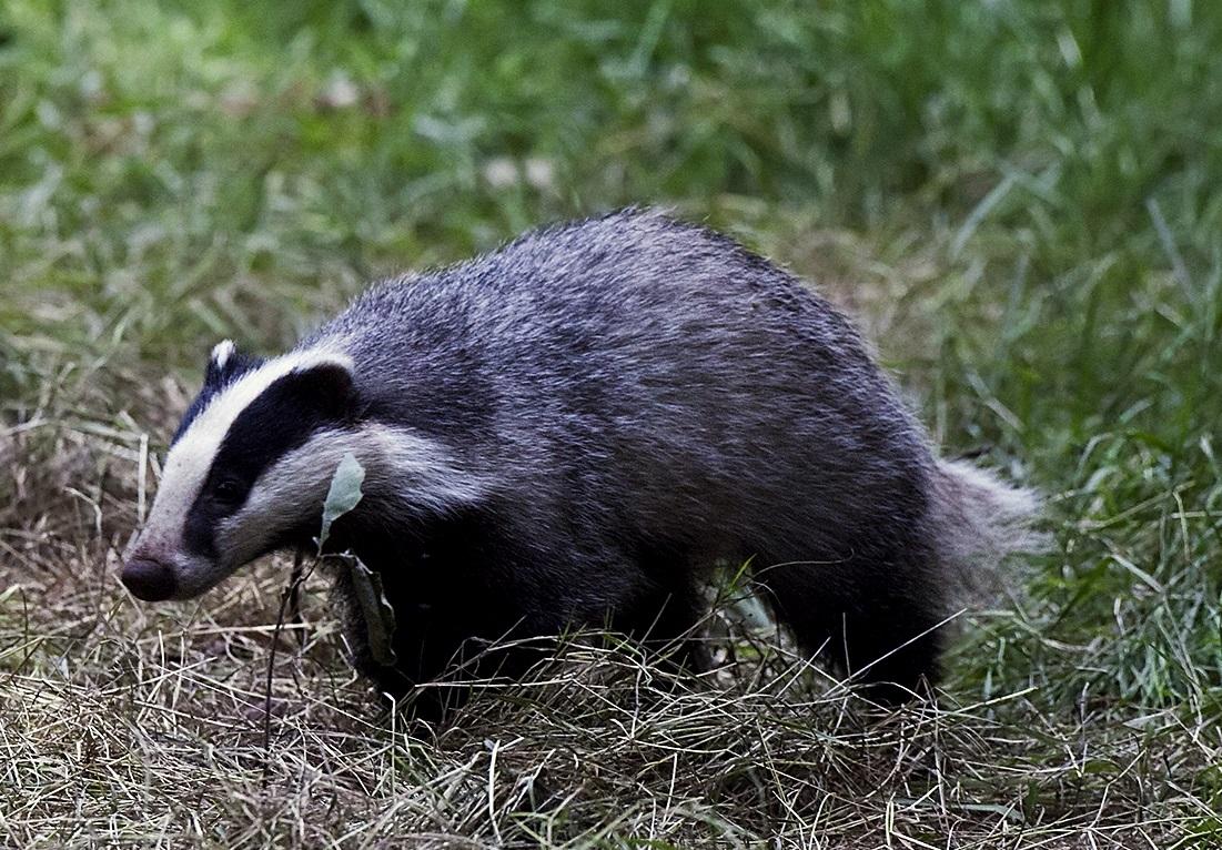 Ragadozók – Wikipédia Borz látása