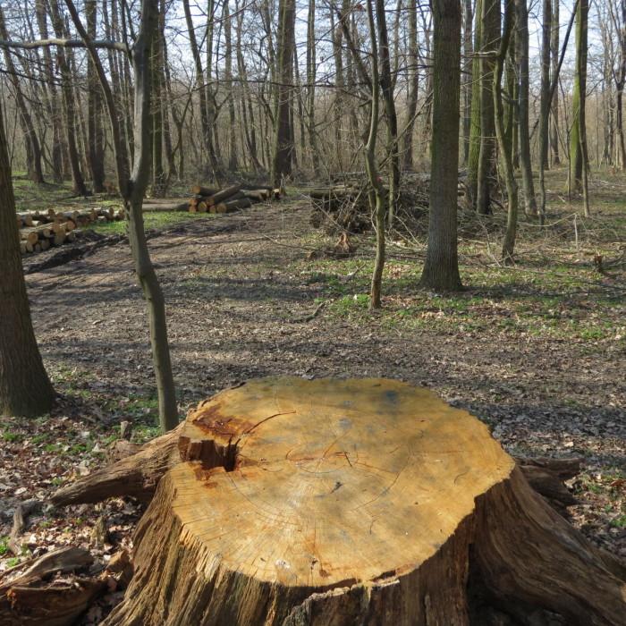 167 évig a szanyi erdő Királya volt az Antal-fa