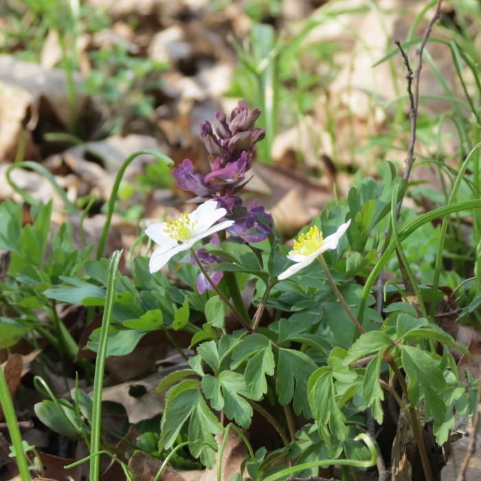 A tavasz virágai a szanyi erdőben - 1