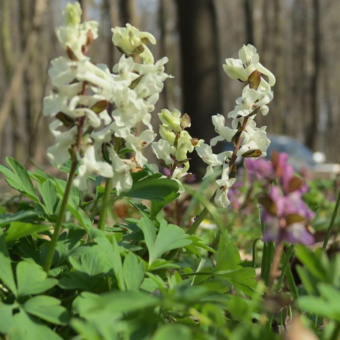 A tavasz virágai a szanyi erdőben - 2