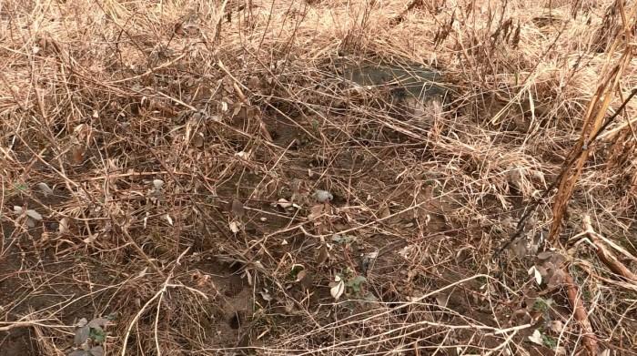 Itt lehet látni egy komolyabb kiterjedésű mezei pocok járatrendszert, és a csemeték maradékait, amelyet fekszenek a földön. Itt gyakorlatilag letarolták a facsemetéket!